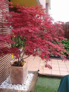 red colored Japanese maple in the planter Informations About Japanischer Ahorn im Garten - 50 Gestal Garden Types, Balcony Garden, Garden Pots, Garden Ideas, Balcony Ideas, Garden Cafe, Back Gardens, Outdoor Gardens, Red Leaf Plant