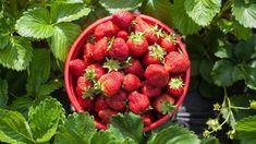 Bucket of Strawberries in a Strawberry field
