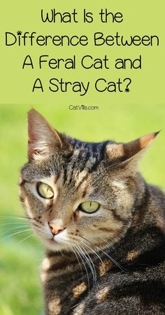What Is the Difference Between A Feral Cat And A Stray Cat? Is there a difference between a feral cat and a stray cat? The answer may surprise you! Find out now! Feral Cat Shelter, Feral Cats, Cat Care Tips, Pet Care, Pet Dogs, Pets, Kitten Care, Outdoor Cats, Cat Behavior