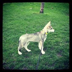 #husky #dog #dogsofinstagram #utonagan #northerninuit #Padgram