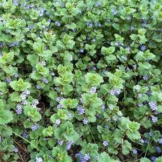 Health Advice, Parsley, Korn, Home Remedies, Preserves, Gardening Tips, Herbalism, Food And Drink, Detox