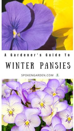 garden care tips Care for the winter pansies in your winter garden with ease. Learn plant care tips, companion plants, how they differ from violas, and more in this plant care guide. Indoor Gardening Supplies, Container Gardening, Balcony Gardening, Flower Gardening, Flowers Garden, Winter Pansies, Winter Flowers, Ornamental Cabbage, Garden Types