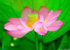 Buddha Flower | junletow: Buddha Lotus Flower