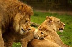 Were you one of those fans of Simba in Lion King? Well, the big cats there never seemed so scary because of the illustrations. Lions are really big cats that be Lion And Lioness, Lion Cub, Animals And Pets, Baby Animals, Cute Animals, Wild Animals, Beautiful Lion, Animals Beautiful, Beautiful Family