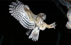 Boobook Owl (Ninox boobook)