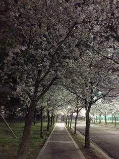 한양대 에리카 캠퍼스의 숨겨진 명소. 기숙사가는 벚꽃 길이랍니다. 중간고사가 겹치는 4월 초에서 중순까지 만발하는 벚꽃, 항상 우리를 애타게 합니다. 그렇지만 그럼에도 미워할 수 없는 저 벚꽃들 - Cherry Blossoms at night in Hanyang University Erica Campus