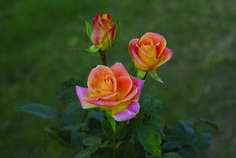 Splash - Ludwigs Roses   Bi-colour apricot-yellow; large bud, classical vase shaped. Virtually no thorns; 40-60cm long stems. Only available as a greenhouse-grown cut rose.
