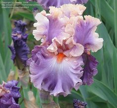 Tall Bearded Iris 'Photogenic' (Iris ) by davesgarden.com, via Flickr