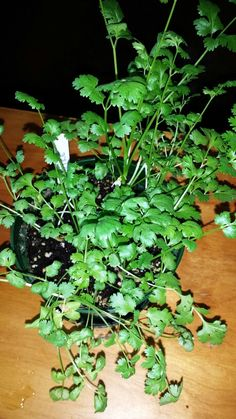 Cilantro grown organically. This very flavourful herb can be used in a fresh chopped salad. And a great addition to an homemade curry dish. #OrganicWeek.