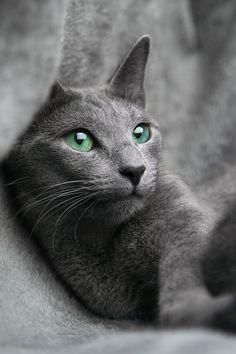 "theperfectworldwelcome: "" renamonkalou: "" A russian cat | smarko "" Beautiful !!! O/ """
