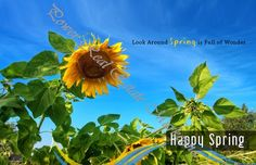 Real Estate Spring Postcards for Highest Quality Real Estate Marketing and Farming:  Spring - Sunflowers on the Field with Blue Spring Sky