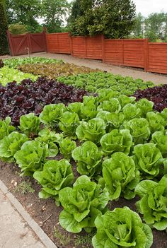 Red lettuce green lettuces romaine lettuce heads of lettuce in fenced vegetable garden in rows growing wide view of many salad plants with red fence garden spigot hosepipe tidy neat rows Fenced Vegetable Garden, Vegetable Garden Planning, Vegetable Garden Design, Fence Garden, Garden Bed, Small Vegetable Gardens, Garden Tips, Fruit Garden, Edible Garden