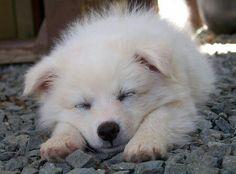 Sleeping Eskie♥