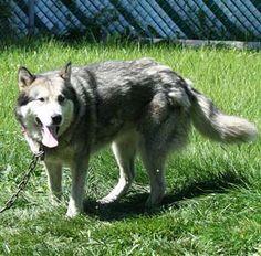 Lost Dog Alaskan Malamute in MELROSE PARK, IL - Lost My Doggie
