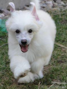 Chinese crested dog.