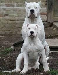 Resultado de imagen para DOGO ARGENTINO