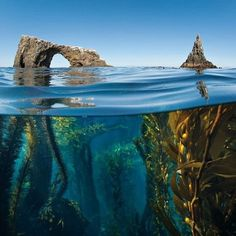 Kelp forest near the  Anacapa islands arch off the coast of Oxnard /Ventura /Santa Barbra