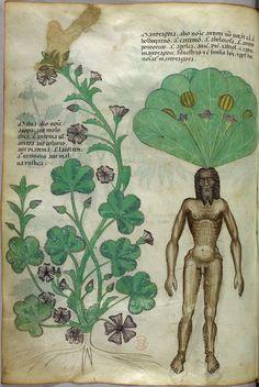 Medieval illustration of Mandrake <3