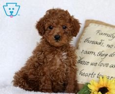 Carson | Poodle - Toy Puppy For Sale | Keystone Puppies Toy Puppies For Sale, Poodle Puppies For Sale, Design Development, Toys, Activity Toys, Clearance Toys, Gaming, Games, Toy