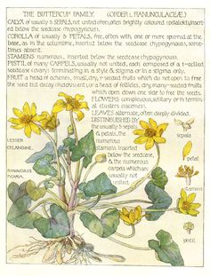 Buttercup Family - Wild Flower Botanical print by Isabel Adams - Antique Print