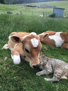 Cow Calf and a Tabby Cat - Unlikely Friendships: