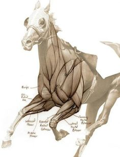 Muscle groups of the horse Horse Drawings, Animal Drawings, Art Drawings, Horse Anatomy, Animal Anatomy, Anatomy Drawing, Anatomy Art, Anatomy Sketches, Horse Sculpture