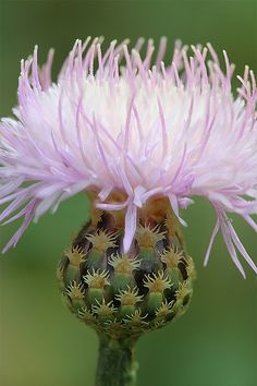 "I love Wild flowers! ""Thistle"""