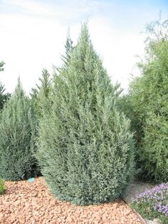 Rocky Mountain Juniper - Species: Juniperus scopulorum, Zone: 4-9, Height: 30-40', Spread: 10-15', Light: Sun, Utah Native: Growth: Medium, Drought Tolerant: High, Notes: needs (and wants) very little water once established.