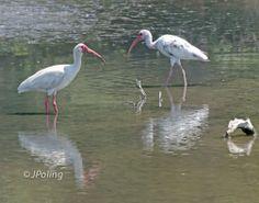 White Ibis, Pinkney Island, near Hilton Head Island, SC