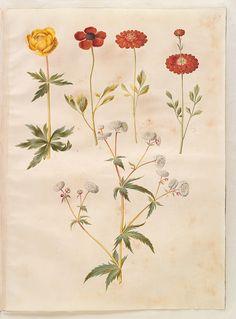 Trollius europaeus; Ranunculus asiaticus simp et pl; Ranunculis aconitifolius simp et pl, KKSgb2949/47