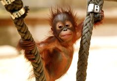 Baby Orangutan. How could you not love that face?