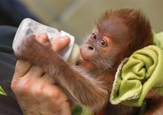 Rieke the baby Orangutan was unfortunately abandoned by her mother at birth in Berlin Zoo, but she is being re-homed at the Monkey World Ape Rescue Centre in. Orangutan Monkey, Baby Chimpanzee, Monkey World, Ape Monkey, Cute Animal Pictures, Cute Baby Animals, Animal Babies, Small Animals, Pet Care