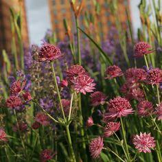 Rose-Purple-Sandstone. Piet Oudolf garden