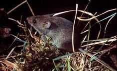 Eastern harvest mouse (Reithrodontomys humulis)