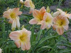 """jealous refinement Height: 26"""" Ruffled peach blend. Candelabra branching. Many buds. Bloom Size: 6""""Characteristics: M/L-RE-FR-D"""