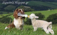 DogWorld: Σκυλίτσα ταίζει με μπιμπερό ορφανά αρνάκια!