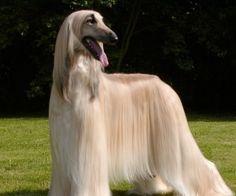 Hosszú haj kutya vicces új háttérkép