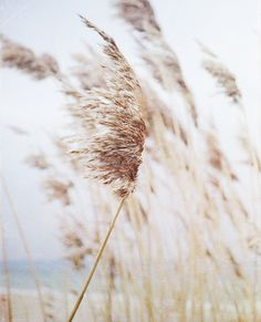 Sea wheat