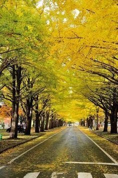 札幌・北大のいちょう並木/ginkgo road at Hokkaido univercity,Sapporo Japan Landscape, Landscape Design, Tree Tunnel, Fantasy Places, Sapporo, Japan Travel, Beautiful Places, Scenery, Country Roads
