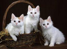 Foto cantik & lucu anak kucing anggora