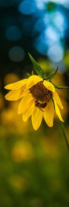 bee on a wildflower, transfer trail colorado