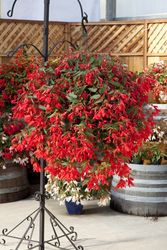 Begonia Bossa Nova Red Large Containers, Flower Planters, Hanging Baskets, Looking Stunning, Nova, Bloom, F1, Creative Ideas, Begonia