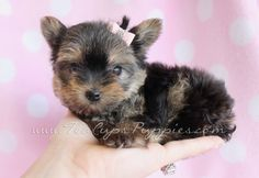 Sweet Yorkshire Terrier Puppy