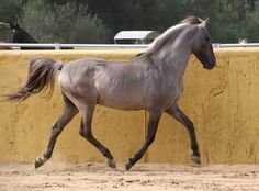 Sorraia for Sale: Stallion, Sorrel, 8 years in Caceres, Cáceres, Spain