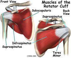 shoulder anatomy muscle