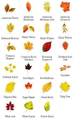 Fall Leaf Guide