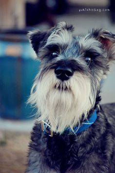The sweet face of a mini schnauzer puppy, he has some darling eyes