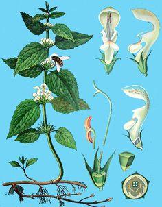 witte dovenetel Lipbloemenfamilie, vierkante stengel, bladeren steeds tegenoverstaand, 3 lippige bloemen, 4 meeldraden, beschermd door de bovenlip. Stamper met gespleten stempel. Stuifmeel via de rug van de insekten overgebracht.