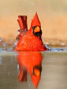 """Cardinal in the bath. His facial expression seems to say, """"Could you give a bird some privacy, please?"""""""