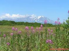 Plain meadows in the Avachinskaya valley. Fireweed or Rosebay Willowherb (Chamaenerion angustifolium) in